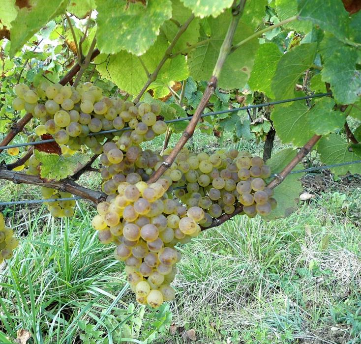 """Kilencszáz éves szőlőfajtából készül a híres jurai """"sárga bor"""""""