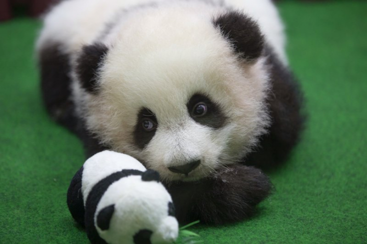 A világ legparányibb óriáspanda-bébije 41,8 gramm súllyal született