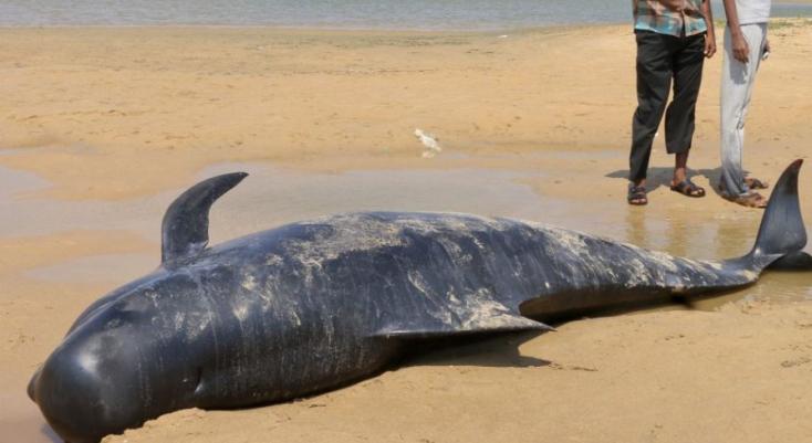 Strandolók mentettek meg partra vetődött gömbölyűfejű delfineket