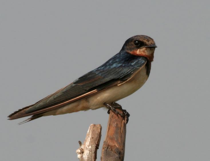 Mintegy hárommilliárd észak-amerikai madár tűnt el 1970 óta