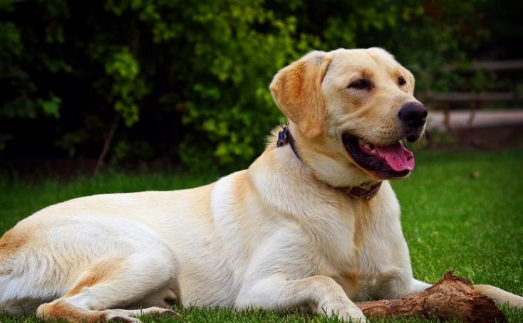 ÉSZMEGÁLL: Betanított labradorok nagy pontossággal szimatolják ki a koronavírus-fertőzöttséget