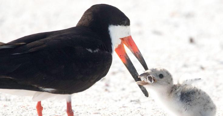 Cigicsikkel etette fiókáját egy madár a floridai tengerparton