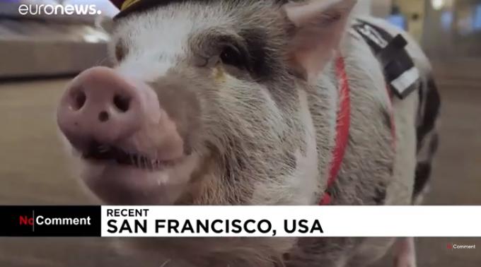 Terápiás malac fogadja az utazókat San Francisco nemzetközi repülőterén (VIDEÓ)