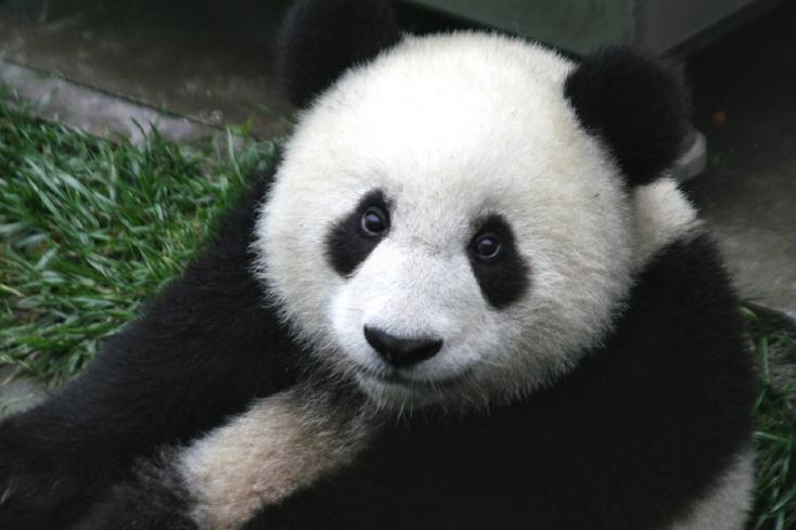 Emberévekben számolva 80 évesen szült ikreket egy óriáspanda