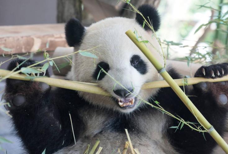 Útnak indult a washingtoni állatkert óriáspandája