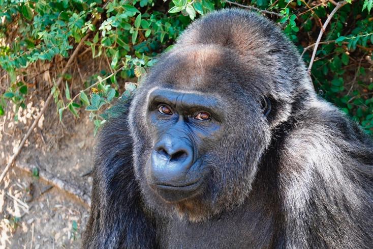 Kimúlt Trudy, a legidősebb, fogságban élő gorilla